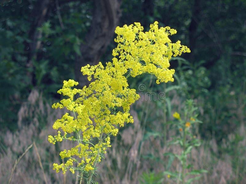 Primo piano giallo fertile del fiore in selvaggio fotografie stock libere da diritti