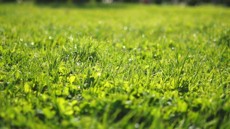 Primo piano giovane erba sistemata verde succosa al sole, fondo fresco luminoso, struttura fotografia stock libera da diritti