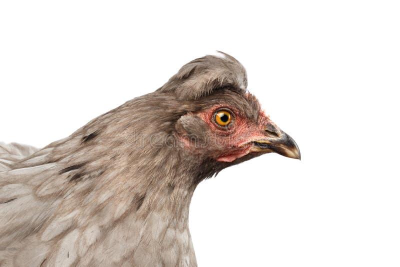 Primo piano Gray Chicken Head Curious Looks isolato su fondo bianco immagine stock libera da diritti