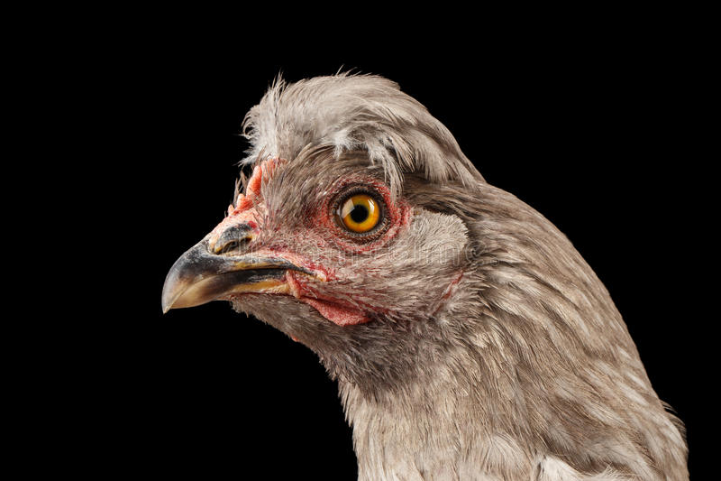 Primo piano Gray Chicken Head Curious Looks isolato su fondo nero fotografia stock libera da diritti