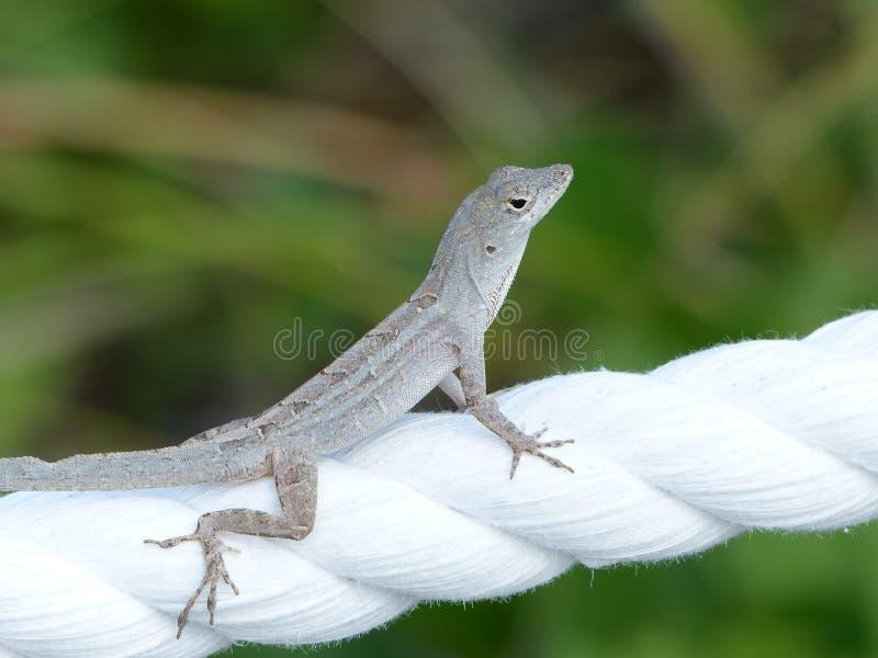 Primo piano grigio della lucertola del geco su una corda bianca immagine stock libera da diritti