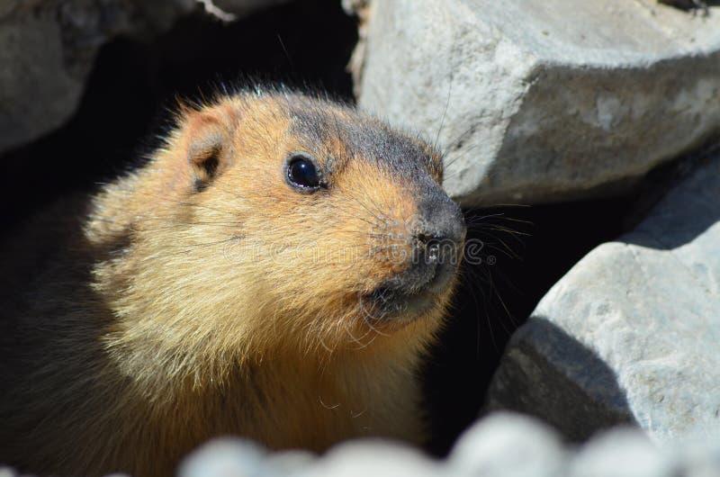Primo piano himalayano della marmotta immagini stock libere da diritti