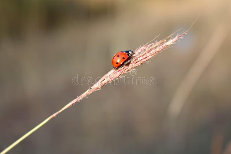 Primo piano impressionante Ladybird immagine stock libera da diritti