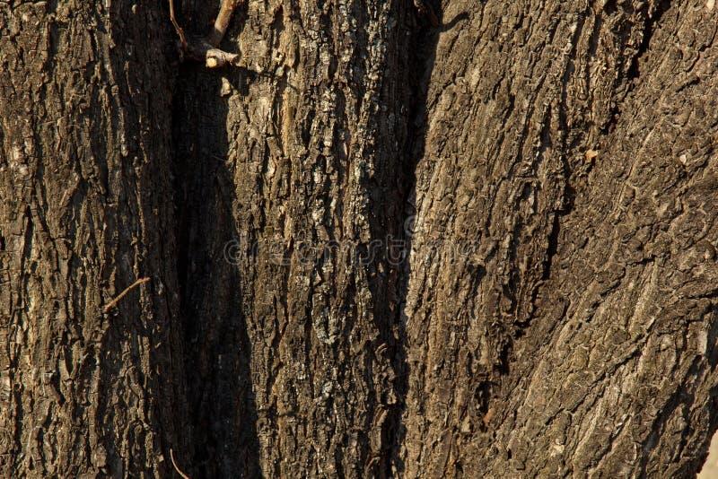 Primo piano incrinato della corteccia di albero Vecchia struttura di legno Fondo fotografia stock