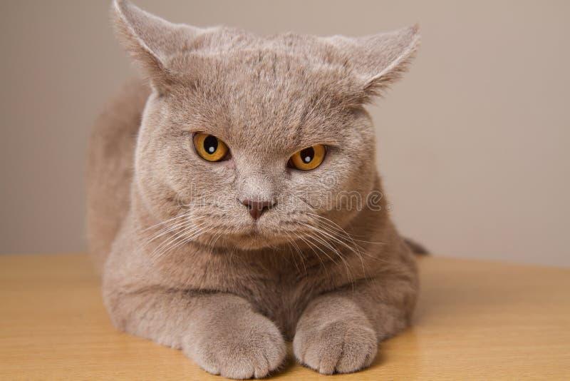 Primo piano infelice del gatto britannico dello shorthair, esaminante direttamente la macchina fotografica le sue orecchie nelle  fotografie stock