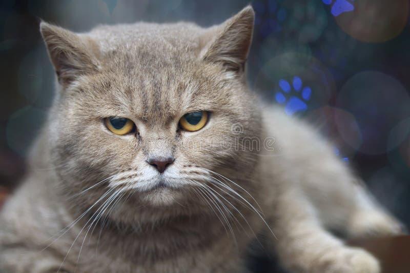 Primo piano infelice del gatto britannico dello shorthair, esaminante direttamente la macchina fotografica le sue orecchie nelle  fotografia stock