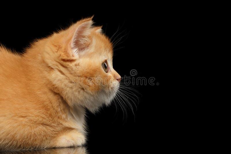 Primo piano Kitten Snout diritta scozzese rossa nel profilo, il nero isolato immagini stock libere da diritti