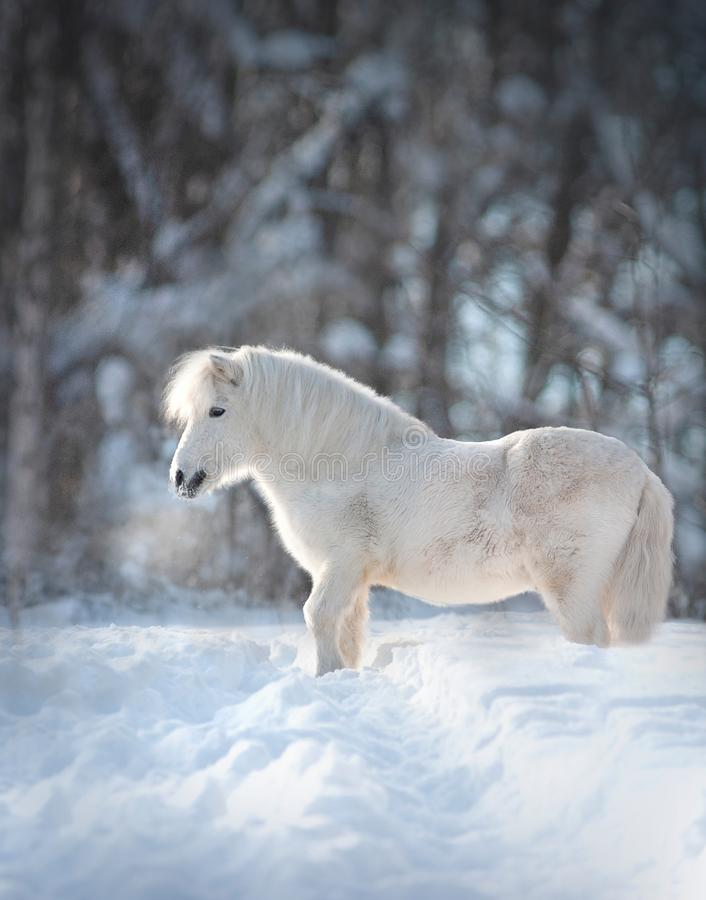 Primo piano lanuginoso sveglio bianco del ritratto del cavallino di Snowy con il fondo di inverno dietro fotografia stock libera da diritti