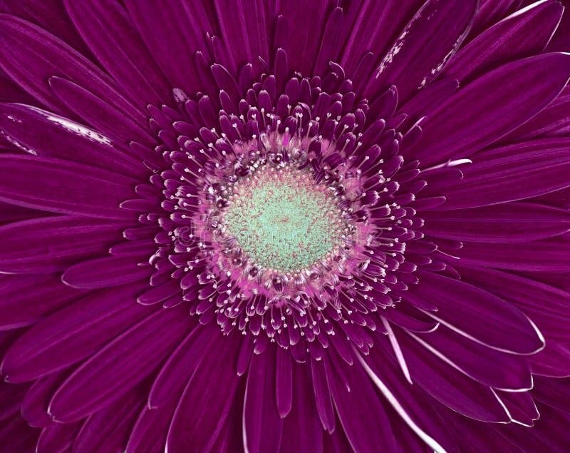 Primo piano lilla del fiore di cerbera della melanzana Cenni storici a macroistruzione immagini stock libere da diritti