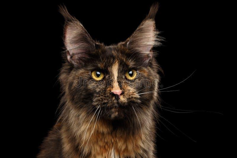 Primo piano Maine Coon Cat Gaze Looks isolata su fondo nero fotografia stock