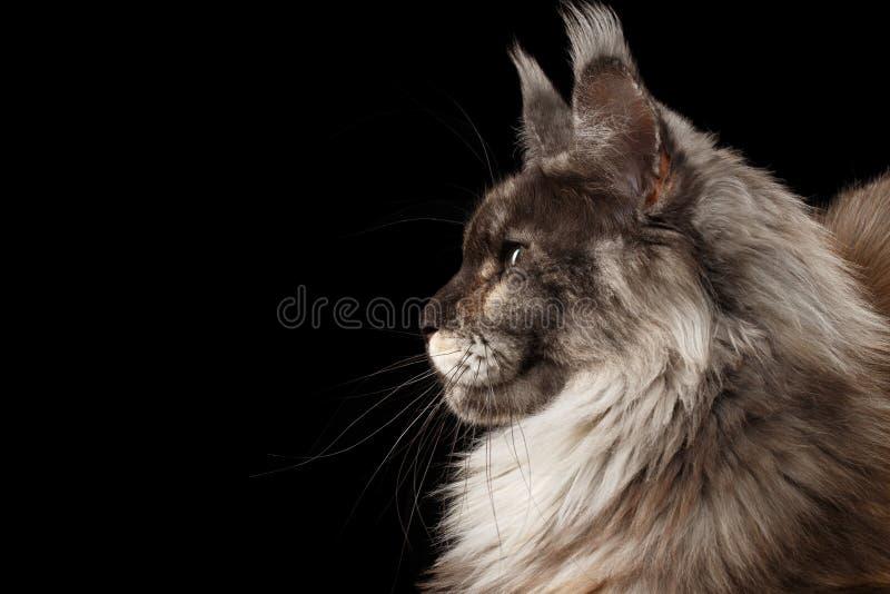 Primo piano Maine Coon Cat nel profilo, il nero isolato, vista laterale immagine stock libera da diritti