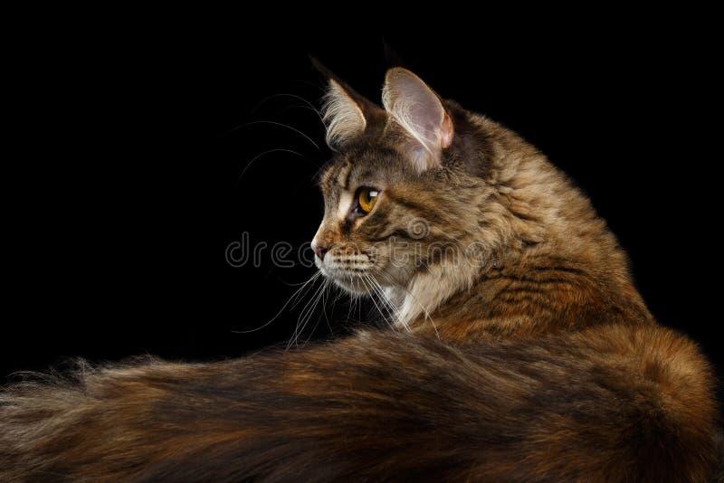 Primo piano Maine Coon Cat Portrait Isolated su fondo nero fotografia stock libera da diritti