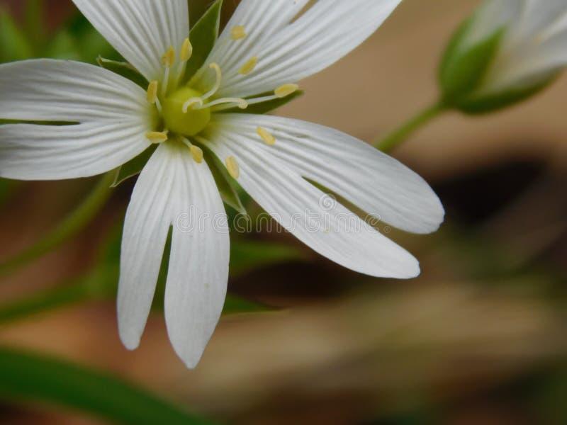 Primo piano meraviglioso del fiore bianco fotografie stock