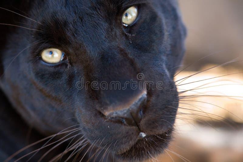 Primo piano nero del leopardo fotografie stock libere da diritti