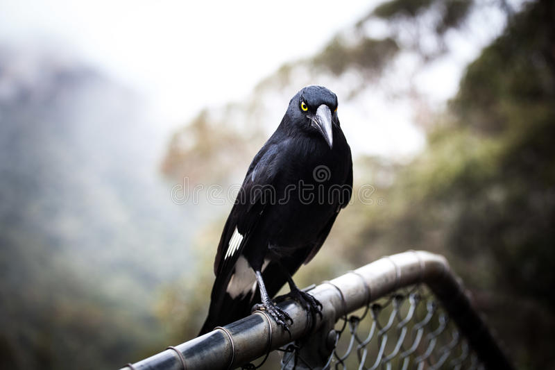 Primo piano pezzato di estremo di Currawong dell'uccello australiano fotografie stock
