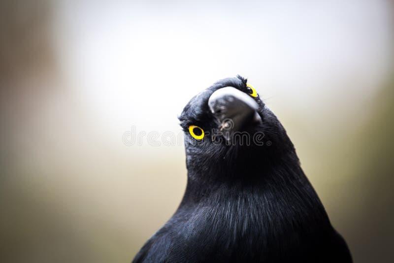 Primo piano pezzato di estremo di Currawong dell'uccello australiano fotografia stock libera da diritti