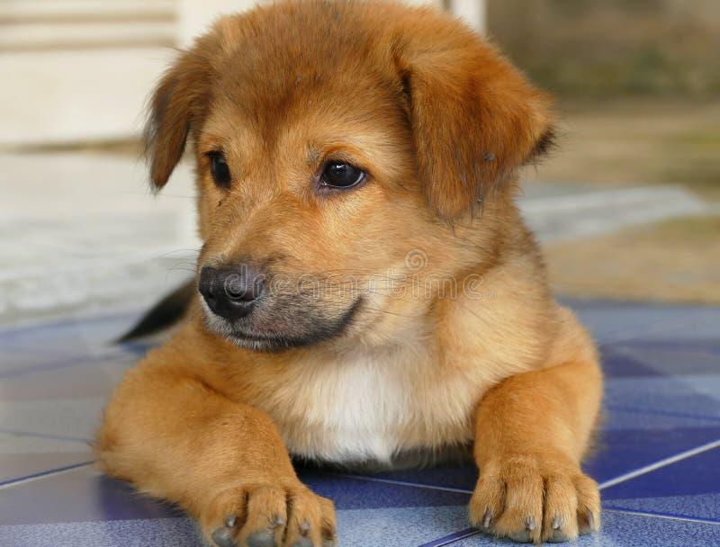 Primo piano poco cucciolo di cane di Brown che si trova sul pavimento immagine stock