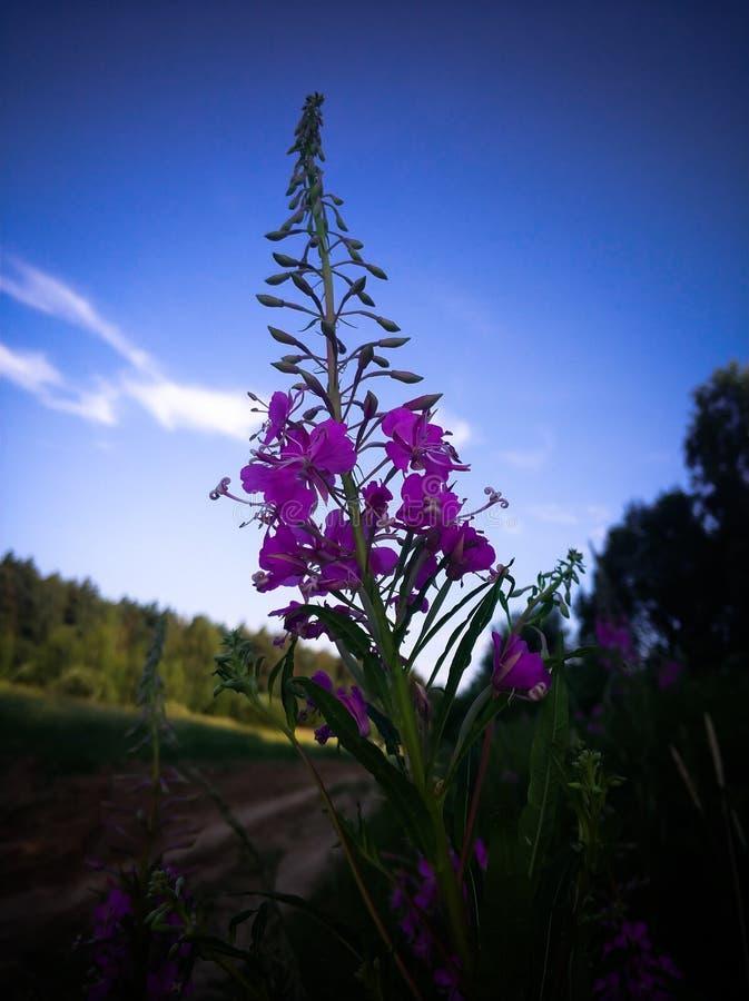 primo piano porpora dei fiori dell'Salice-erba nel campo fotografie stock