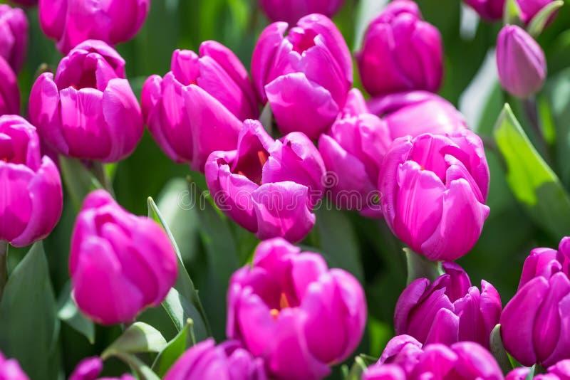 Primo piano porpora dei tulipani immagine stock libera da diritti