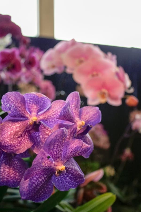 Primo piano porpora dell'orchidea di festival dell'orchidea fotografia stock