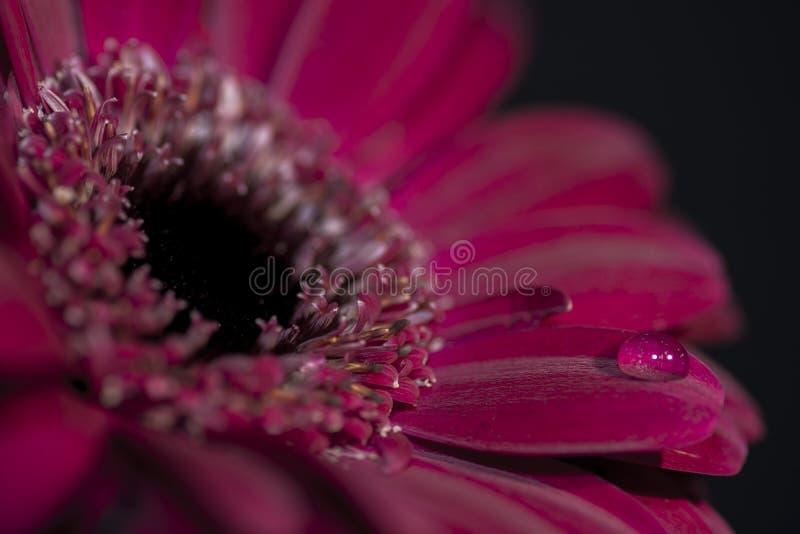Primo piano porpora/rosso del fiore, con una goccia di acqua su un petalo immagine stock libera da diritti