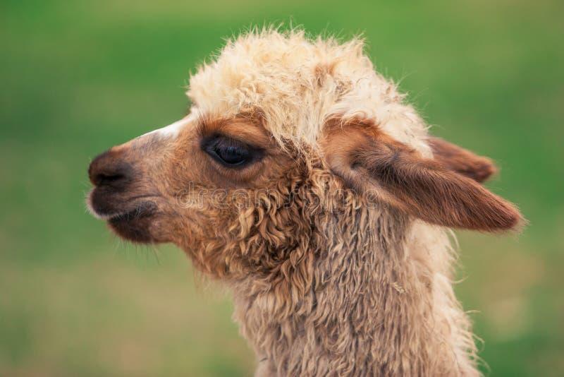Primo piano prfile del ritratto della lama peruviana fotografia stock libera da diritti
