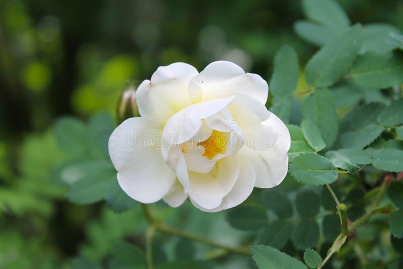 Primo piano rosa bianco del fiore come fondo o cartolina d'auguri Sfondo naturale immagini stock libere da diritti