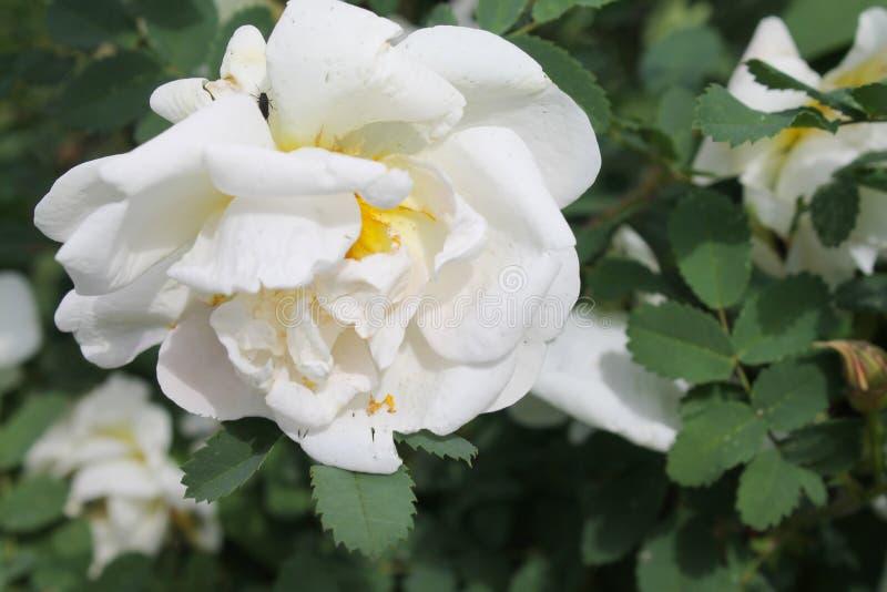 Primo piano rosa bianco del fiore come fondo o cartolina d'auguri Sfondo naturale fotografie stock