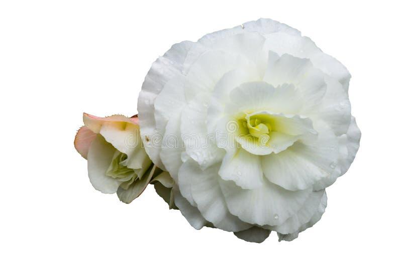 primo piano rosa bianco del germoglio su fondo isolato bianco immagini stock libere da diritti