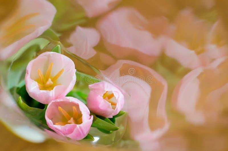 Primo piano rosa dei tulipani imballato fotografia stock