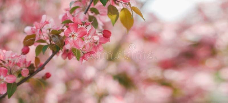 Primo piano rosa del fiore della ciliegia Il tempo di primavera fiorisce il fondo Spazio della copia per l'orizzontale del testo immagine stock libera da diritti