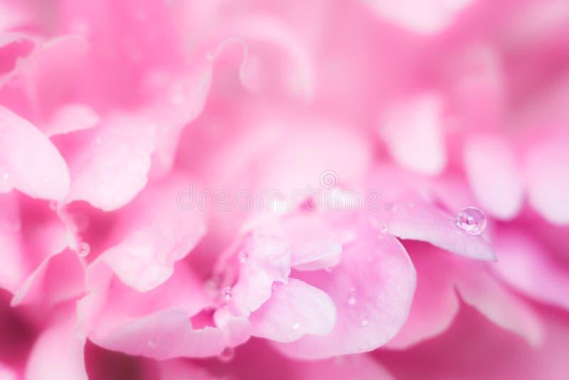 Primo piano rosa delle peonie dei fiori fotografie stock