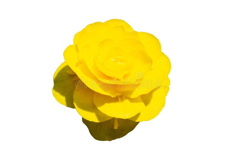Primo piano rosa giallo del germoglio su fondo isolato bianco immagini stock libere da diritti