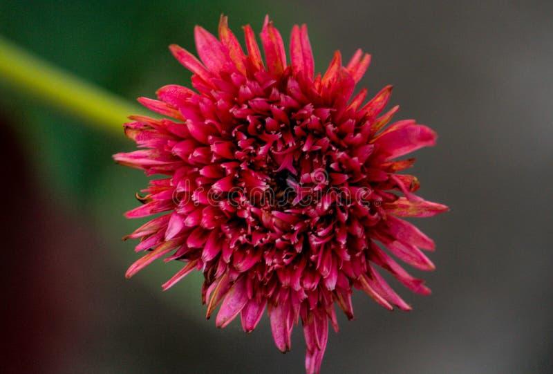 Primo piano rosso del fiore fotografia stock