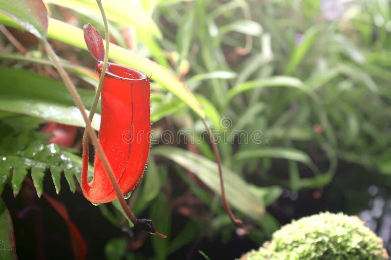 Primo piano rosso del nepente della pianta carnivora Raccolta della pianta tropicale in giardino di inverno Giardino botanico del immagini stock