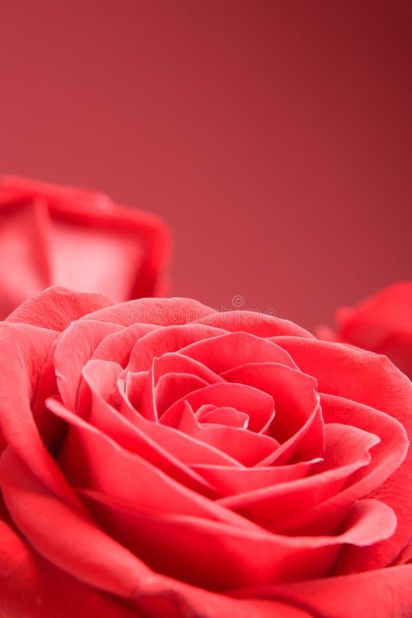 Primo piano rosso delle rose sui precedenti rossi immagini stock libere da diritti