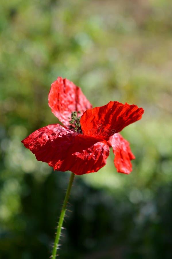 Primo piano rosso di fioritura di Poppy Flower, macro natura immagini stock libere da diritti