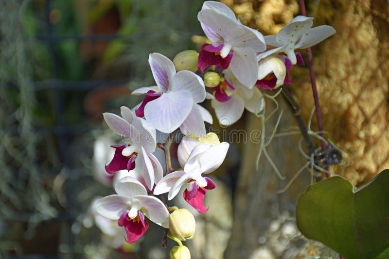 Primo piano rosso, di rosa e bianco dell'orchidea fotografie stock