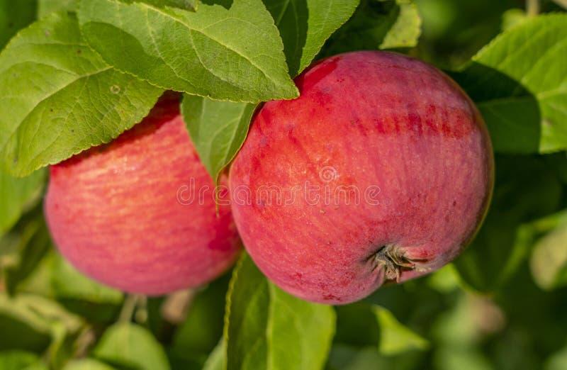 Primo piano rosso maturo delle mele che appende su un ramo di Apple fotografia stock libera da diritti