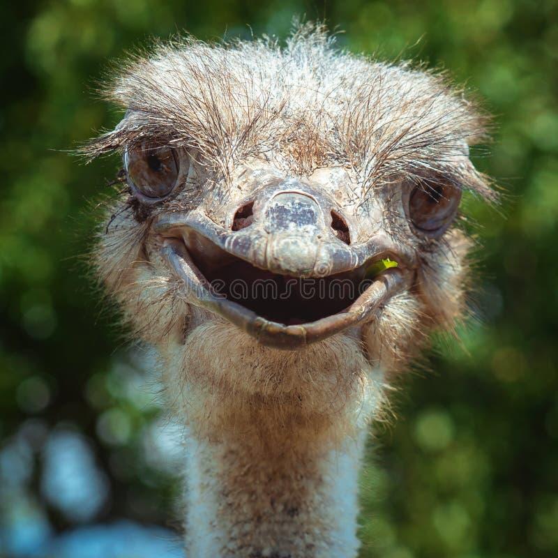 Primo piano sorridente dello struzzo Uccello divertente fotografia stock