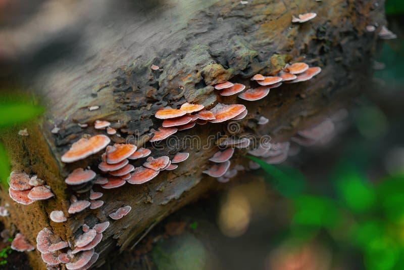 primo piano sparato dei funghi del polypore su legname in foresta pluviale immagine stock libera da diritti