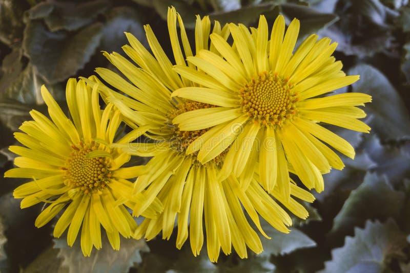 Primo piano sparato della gerbera Daisy Flowers fotografia stock