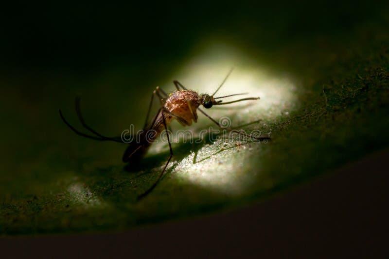 Primo piano sparato della zanzara fotografia stock