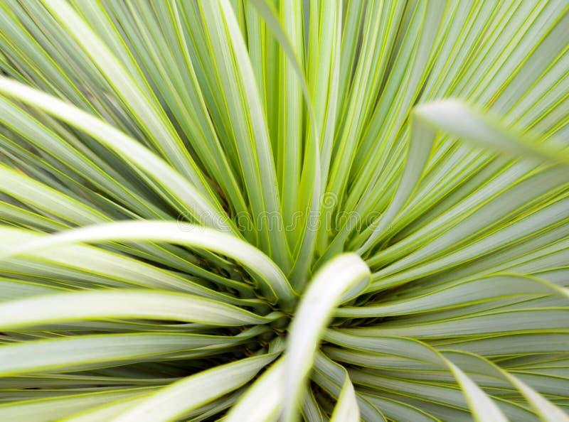 Primo piano, spina e dettaglio succulenti dell'yucca sulle foglie dell'yucca di Narrowleaf immagine stock libera da diritti