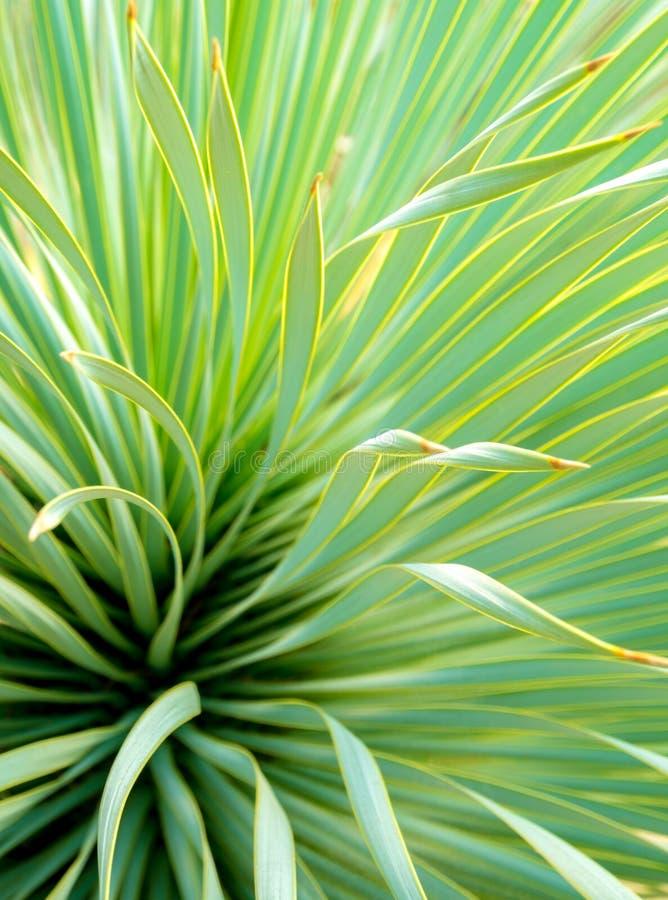 Primo piano, spina e dettaglio succulenti dell'yucca sulle foglie dell'yucca di Narrowleaf fotografie stock