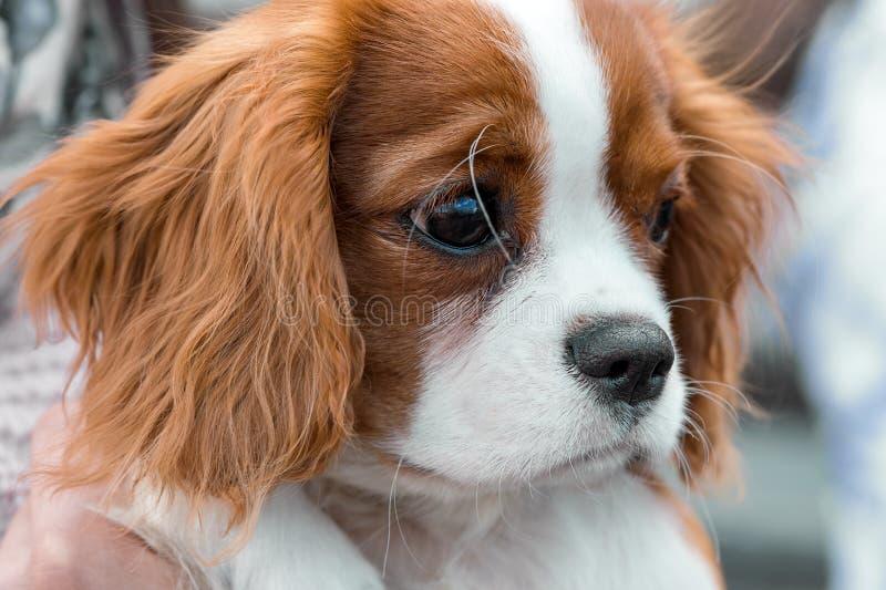 Primo piano sprezzante del ritratto del cucciolo di re Charles Spaniel immagine stock