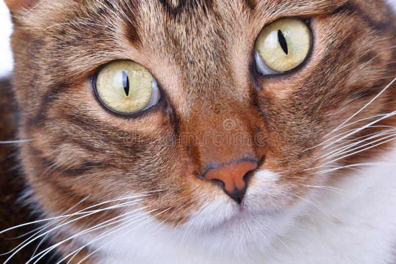 Primo piano a strisce del gatto domestico della museruola fotografia stock libera da diritti