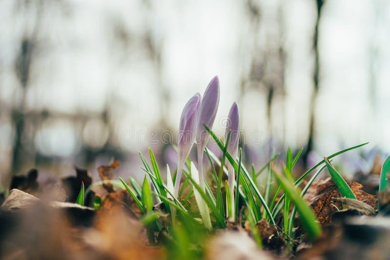 Primo piano su tre fiori del croco entro la molla in anticipo fotografia stock