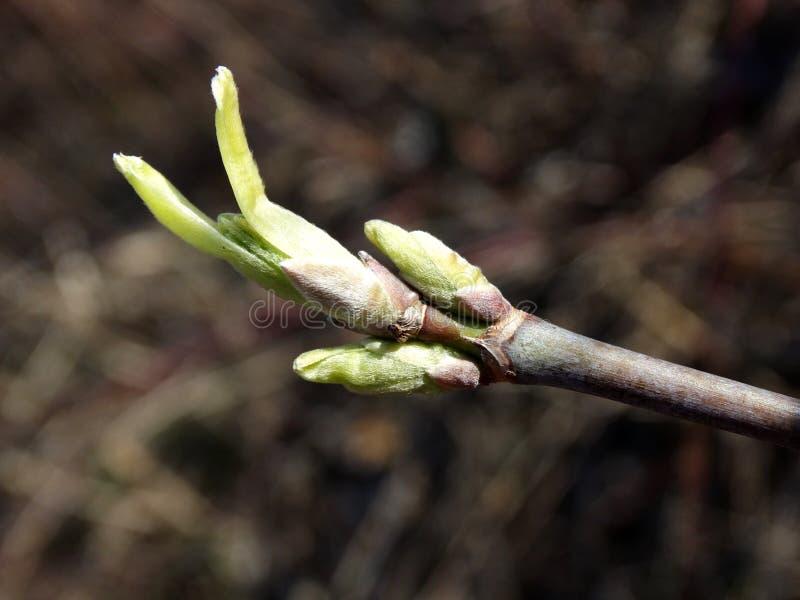Primo piano su un germoglio crescente delle foglie fotografia stock