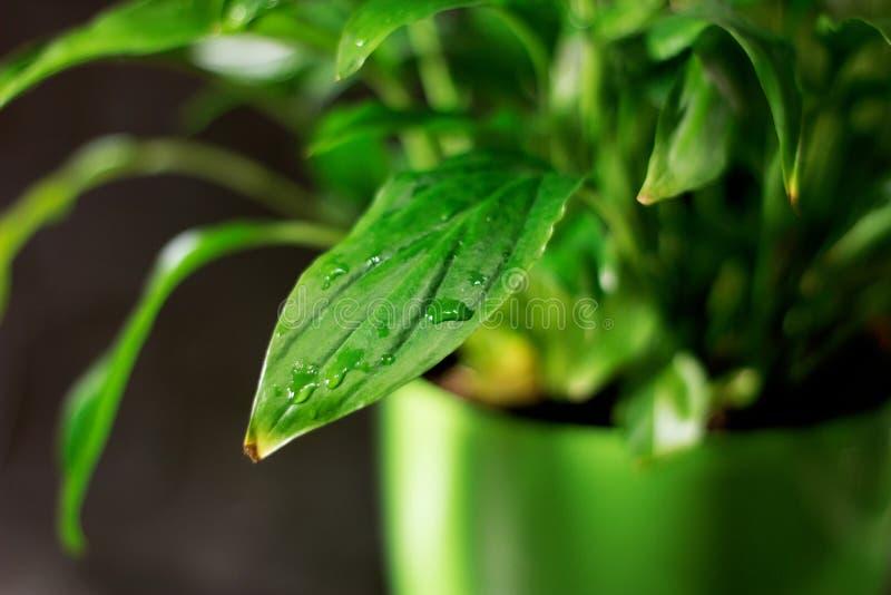 Primo piano su una foglia verde fresca, dopo pioggia con le gocce di acqua Fondo botanico della natura del fogliame Modello per l immagini stock libere da diritti